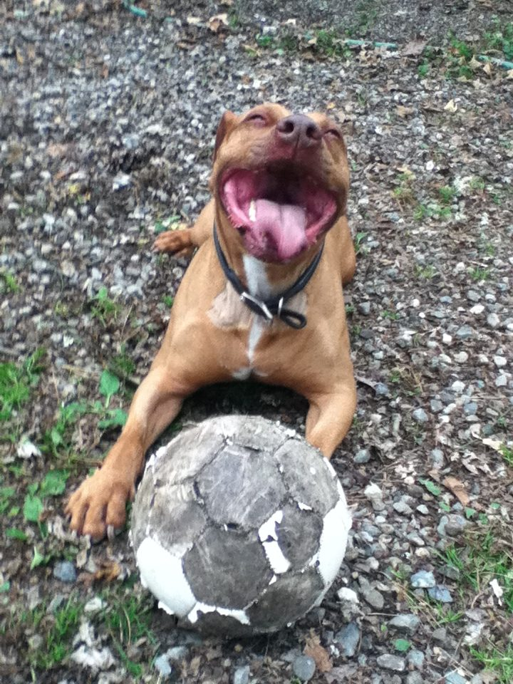 photo of ecstatic pit bull with chewed ball