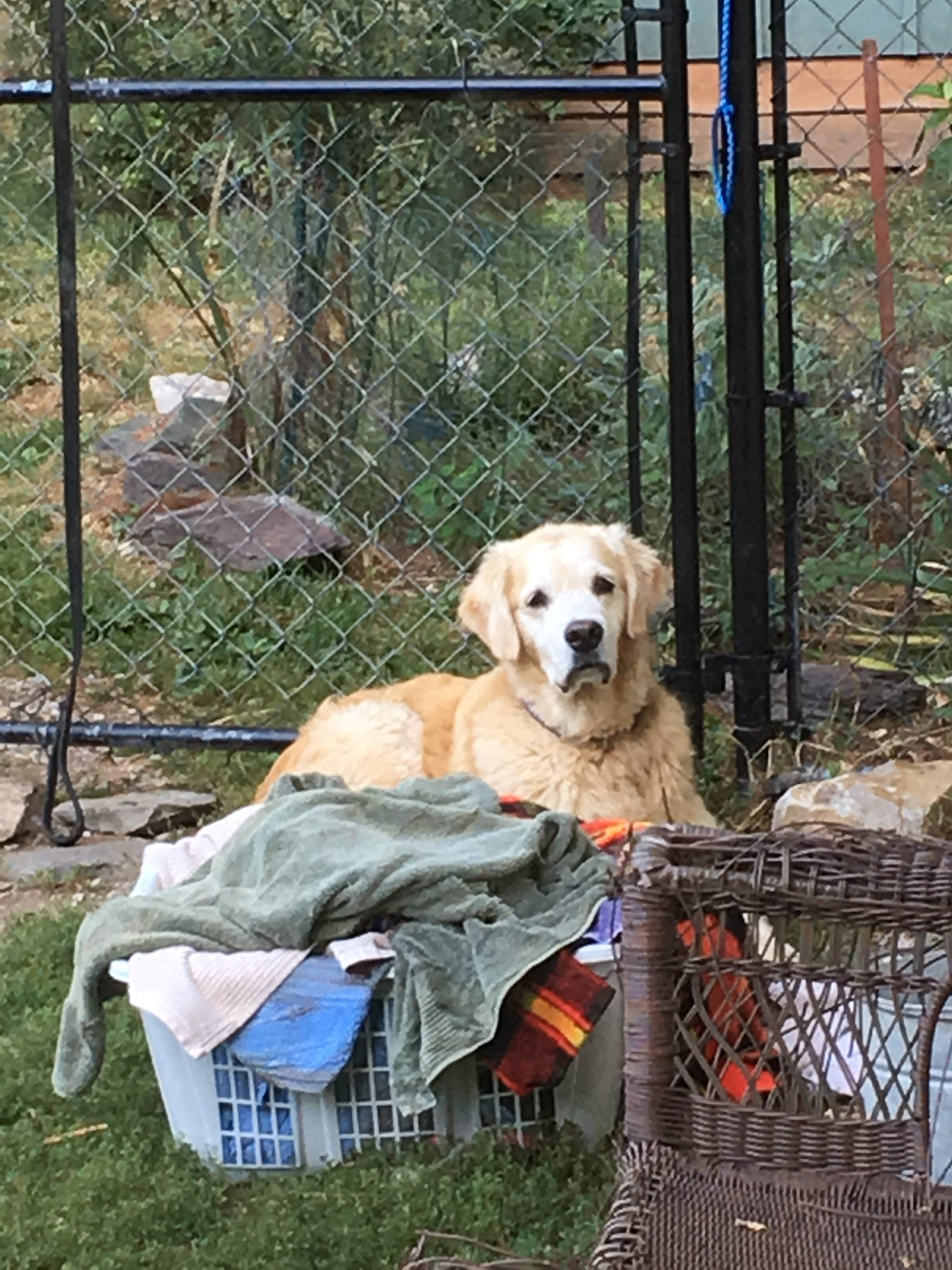 photo of golden lab by the laundry basket