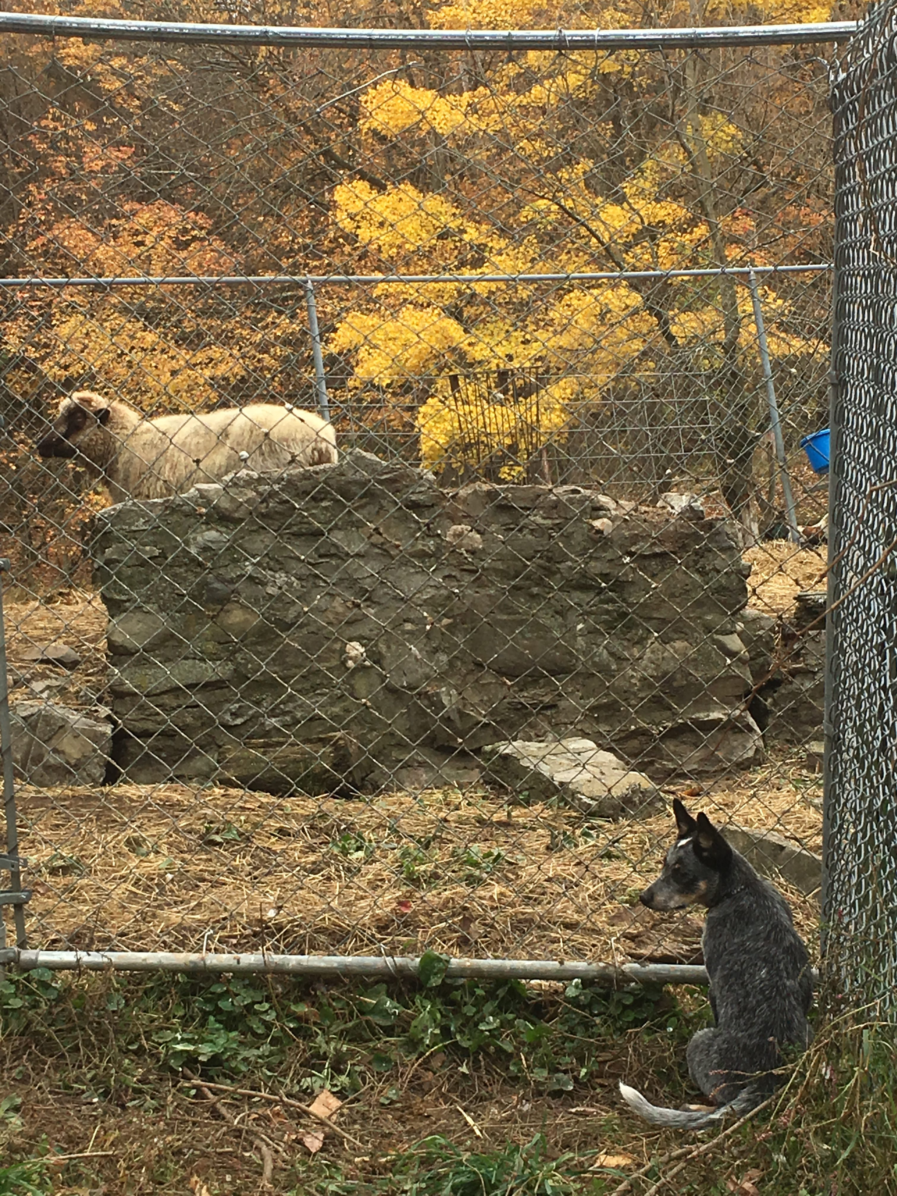photo of dog watching sheep through a fence