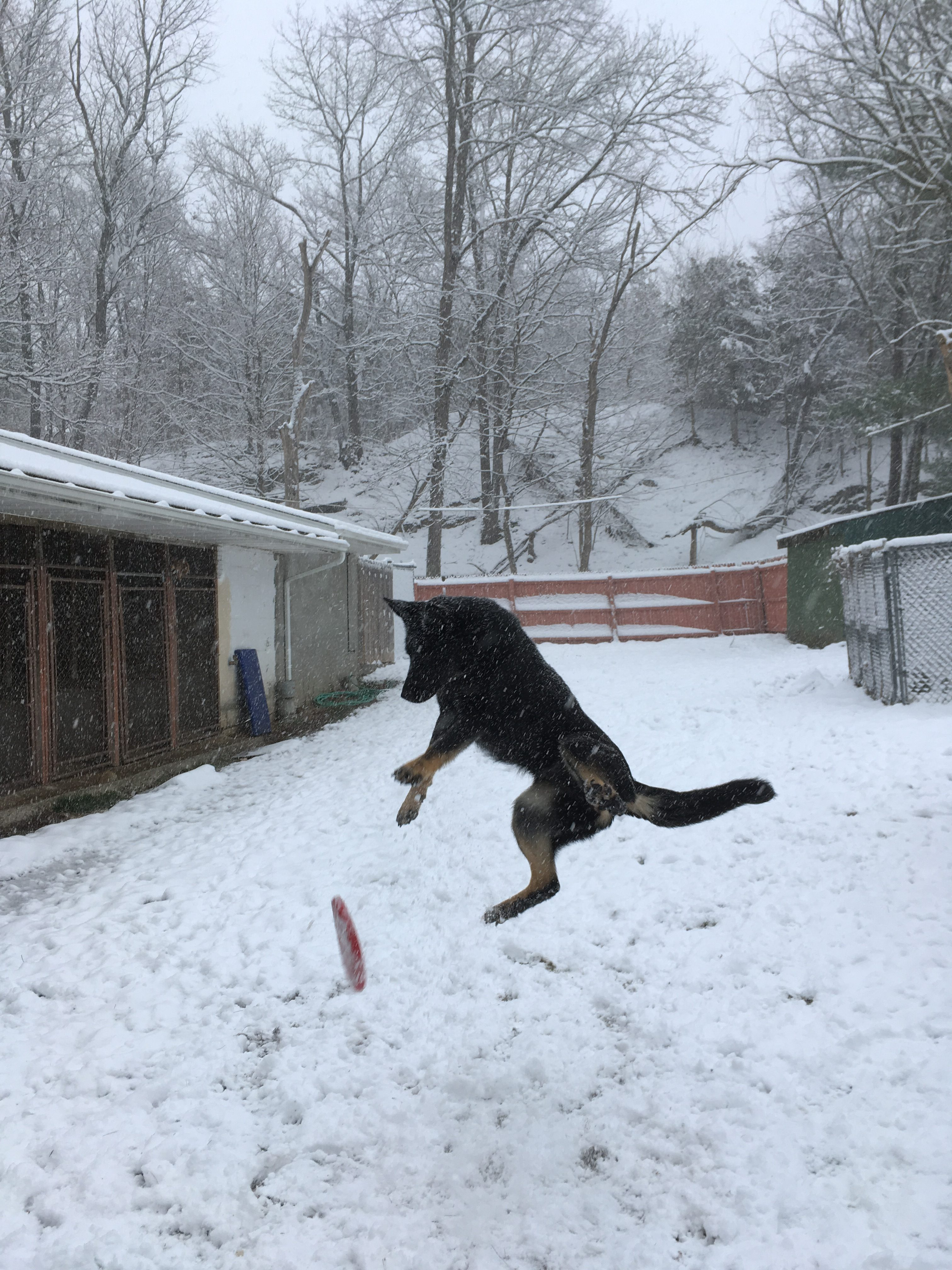 photo of german shepherd jumping for frisbee
